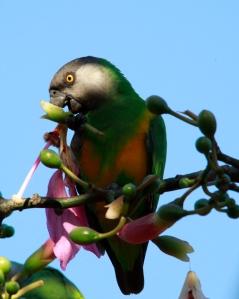 senegal parrot? (Poicephalus senegalus)