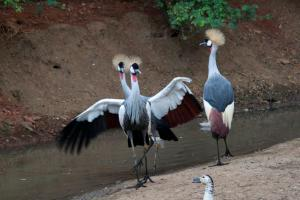 Southern Crowned Crane (balearica regulorum)